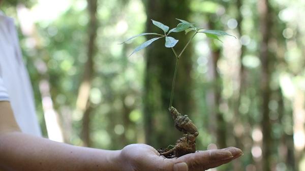 Nâng cao giá trị cộng đồng từ trồng sâm Ngọc Linh tại Kon Tum