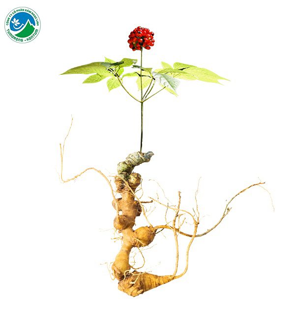 Vì sao sâm Ngọc Linh được coi là loài sâm quý nhất thế giới