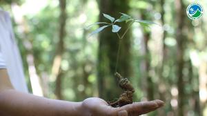 Việt Nam sở hữu loại sâm quý hiếm nhất thế giới (Plo.vn)