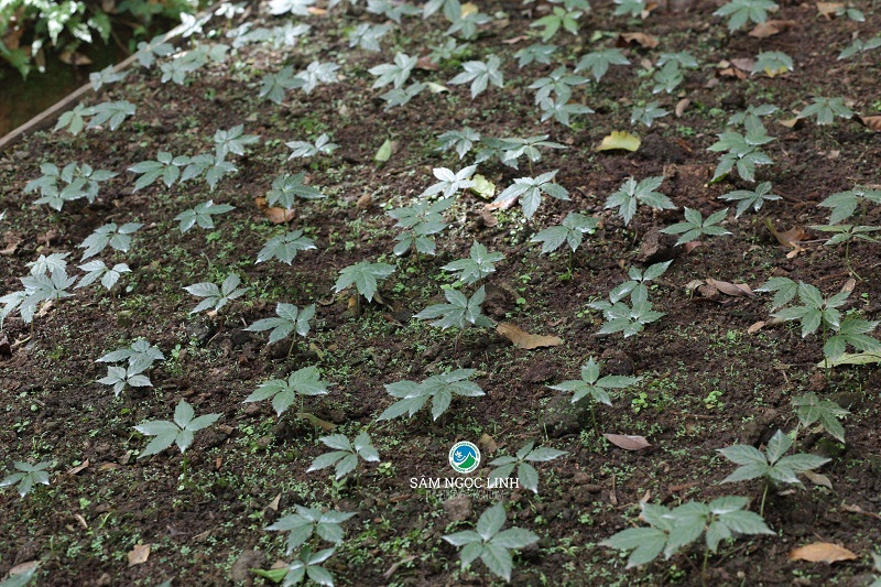 Địa chỉ mua cây giống sâm Ngọc Linh chất lượng
