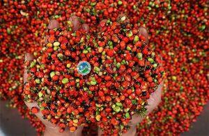 Hạt sâm Ngọc Linh sau khi thu hoạch